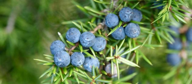 5 Lợi ích của Juniper Berry