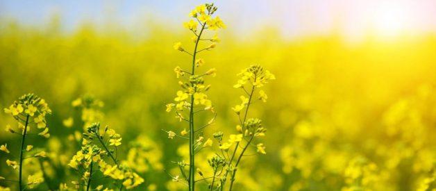 Dầu hạt cải - Dinh dưỡng, lợi ích và nhược điểm!